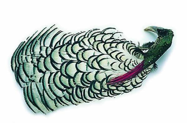 Bild på Amherst Pheasant (Nacke)