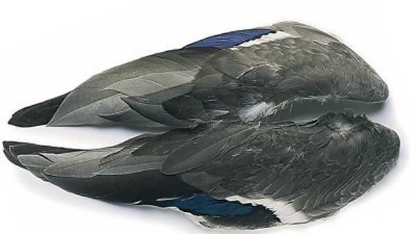 Bild på Mallard/Gräsand (vingpar)
