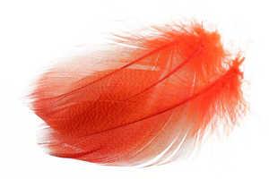 Bild på Selected Gadwall Barred Flank Fluo Orange